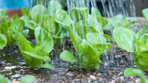 lettuce-water